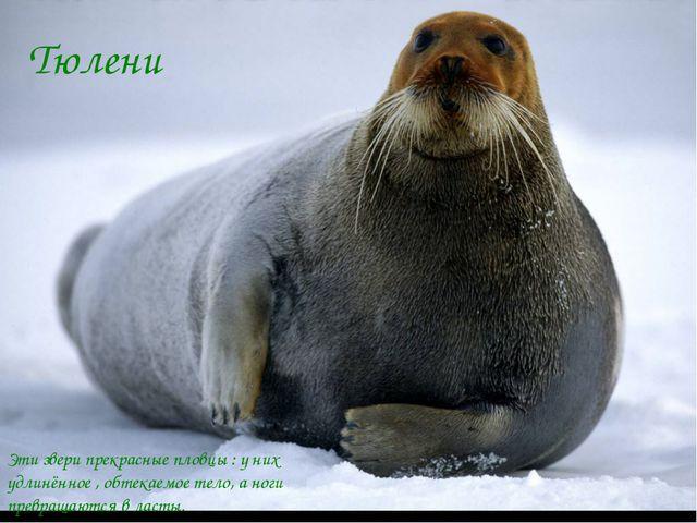 Тюлени Эти звери прекрасные пловцы : у них удлинённое , обтекаемое тело, а но...