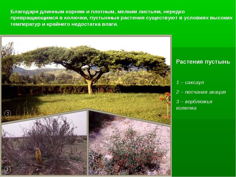 Благодаря длинным корням и плотным, мелким листьям, нередко превращающимся в...