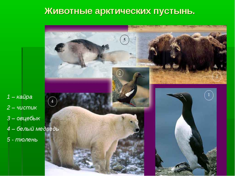Животные арктических пустынь. 1 – кайра 2 – чистик 3 – овцебык 4 – белый медв...