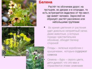 Белена Во время цветения от растения идет довольно неприятный запах. Даже жив