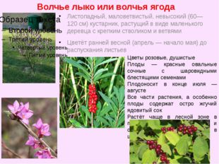 Волчье лыко или волчья ягода Листопадный, маловетвистый, невысокий (60—120 см