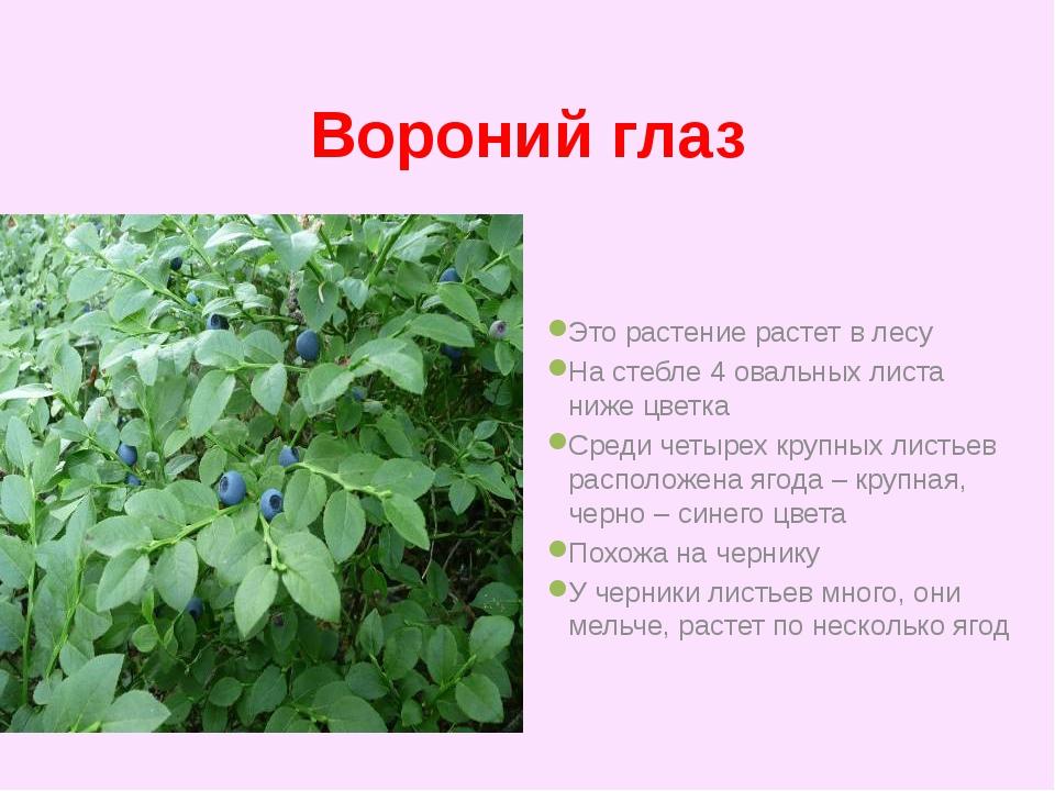 Вороний глаз Это растение растет в лесу На стебле 4 овальных листа ниже цветк...