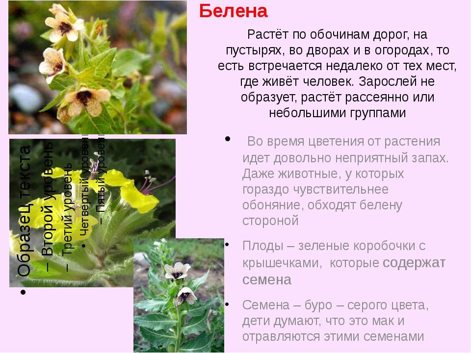 Белена Во время цветения от растения идет довольно неприятный запах. Даже жив...