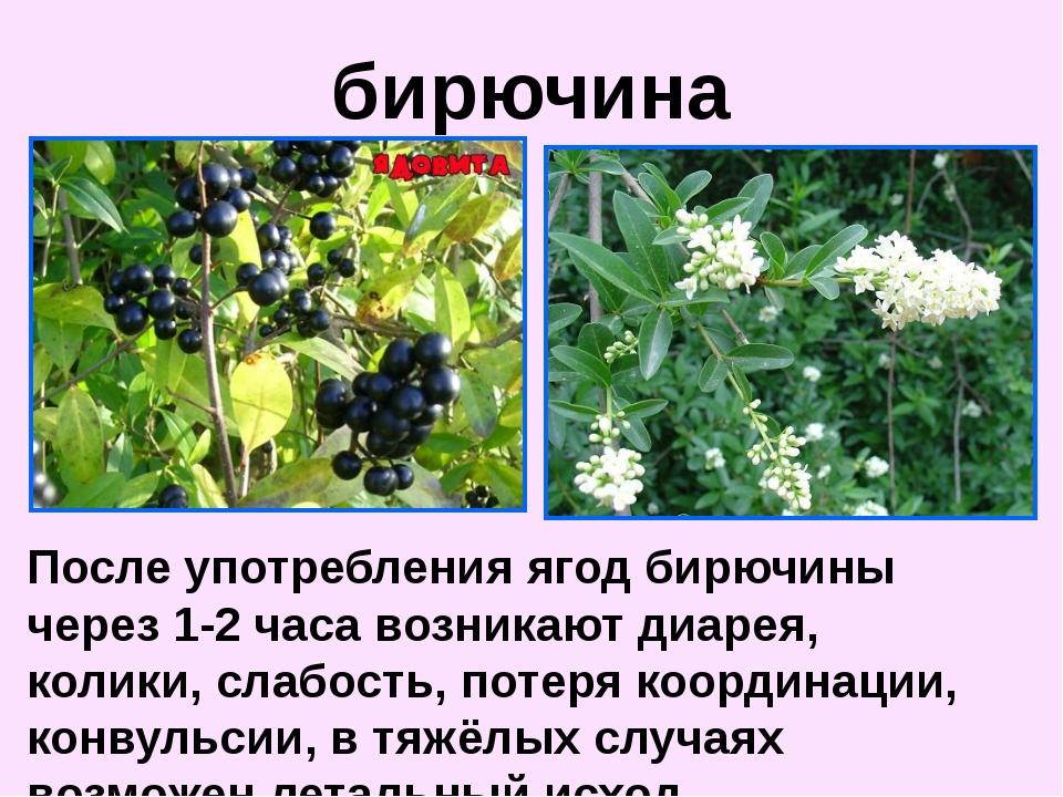 После употребления ягод бирючины через 1-2 часа возникают диарея, колики, сла...