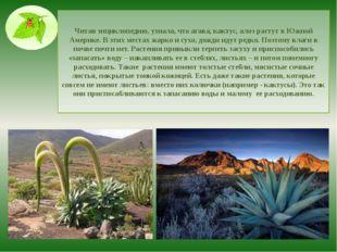 Читая энциклопедию, узнала, что агава, кактус, алоэ растут в Южной Америке. В