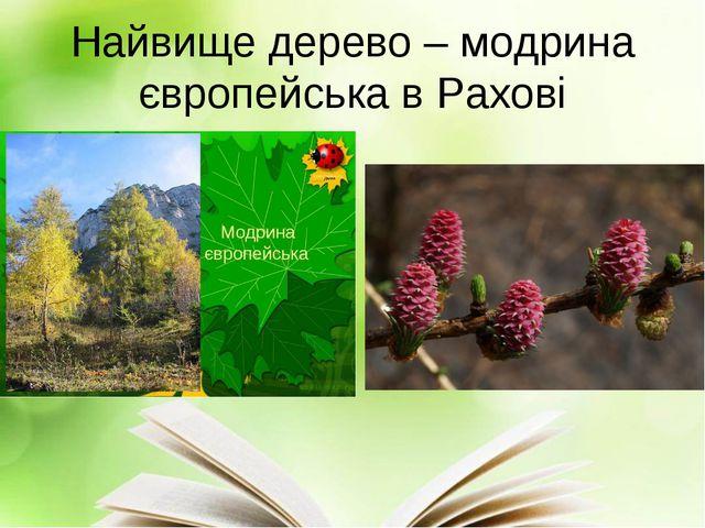 Найвище дерево – модрина європейська в Рахові