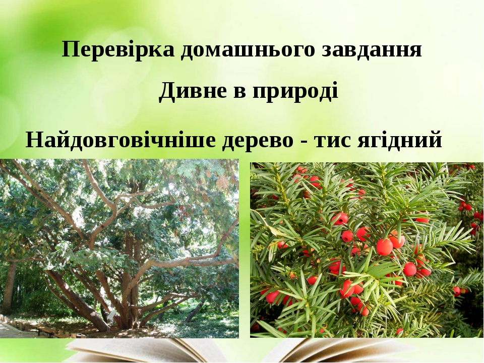Перевірка домашнього завдання Дивне в природі Найдовговічніше дерево - тис яг...