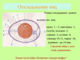 Откладывание яиц Птицы откладывают разное количество яиц. орлы- 1 – 2, пингви