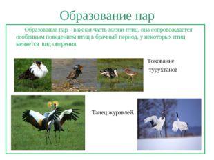 Образование пар Образование пар – важная часть жизни птиц, она сопровождается