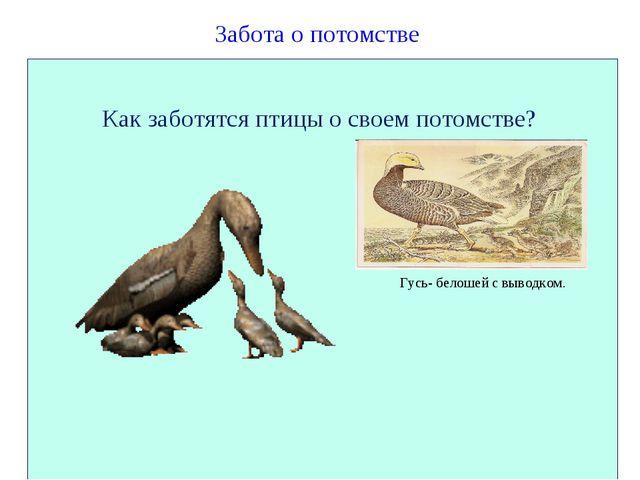 Забота о потомстве Как заботятся птицы о своем потомстве? Гусь- белошей с вы...