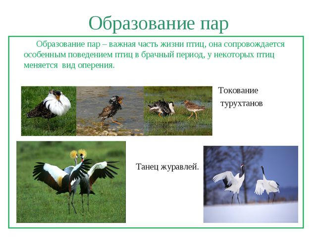 Образование пар Образование пар – важная часть жизни птиц, она сопровождается...