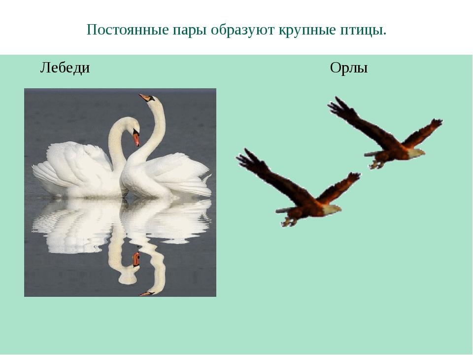 Постоянные пары образуют крупные птицы. Лебеди Орлы