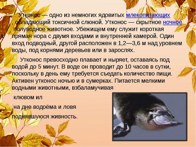 Утконос— одно из немногих ядовитыхмлекопитающих,обладающий токсичной слюн...