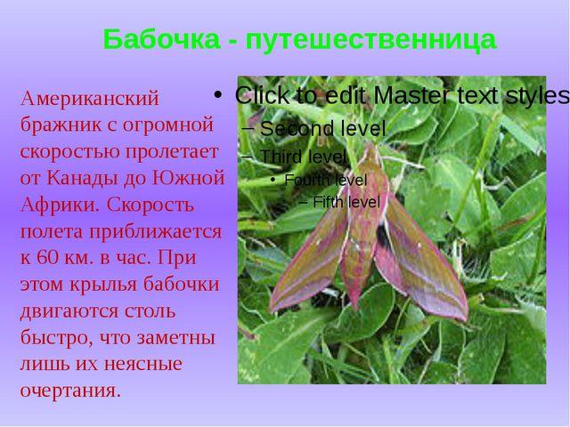 Бабочка - путешественница Американский бражник с огромной скоростью пролетает...