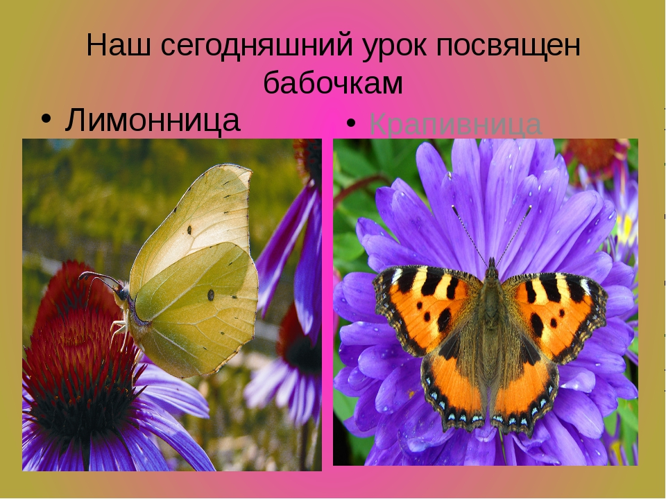 Наш сегодняшний урок посвящен бабочкам Лимонница Крапивница