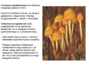 Галерина окаймленная или Galerina marginata (Batsch) Kuhn. Селится в хвойных