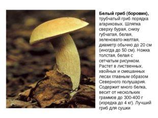Белый гриб (боровик), трубчатый гриб порядка агариковых. Шляпка сверху бурая,