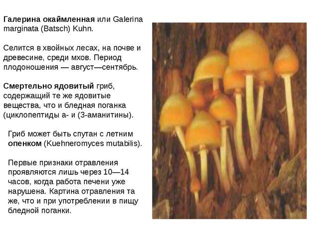 Галерина окаймленная или Galerina marginata (Batsch) Kuhn. Селится в хвойных...
