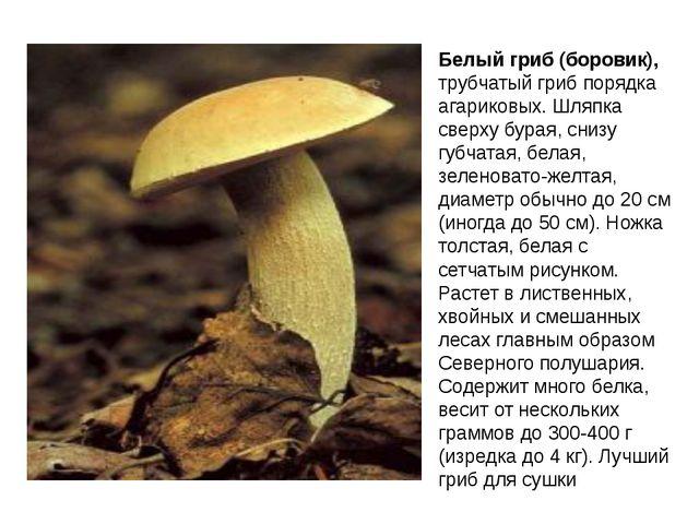 Белый гриб (боровик), трубчатый гриб порядка агариковых. Шляпка сверху бурая,...