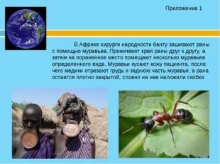 В Африке хирурги народности банту зашивают раны с помощью муравьев. Приж