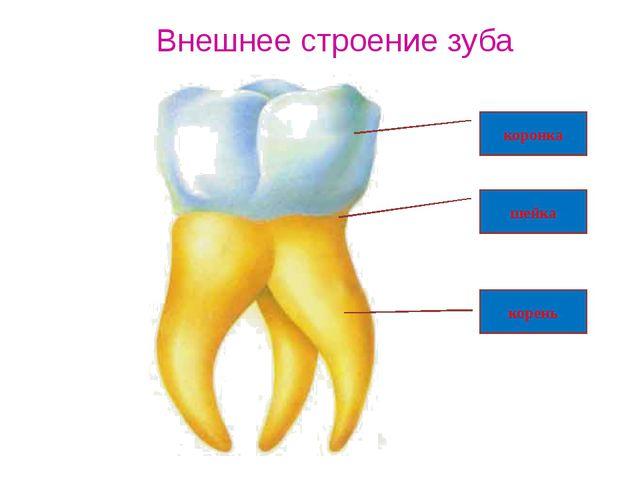 Внешнее строение зуба коронка шейка корень