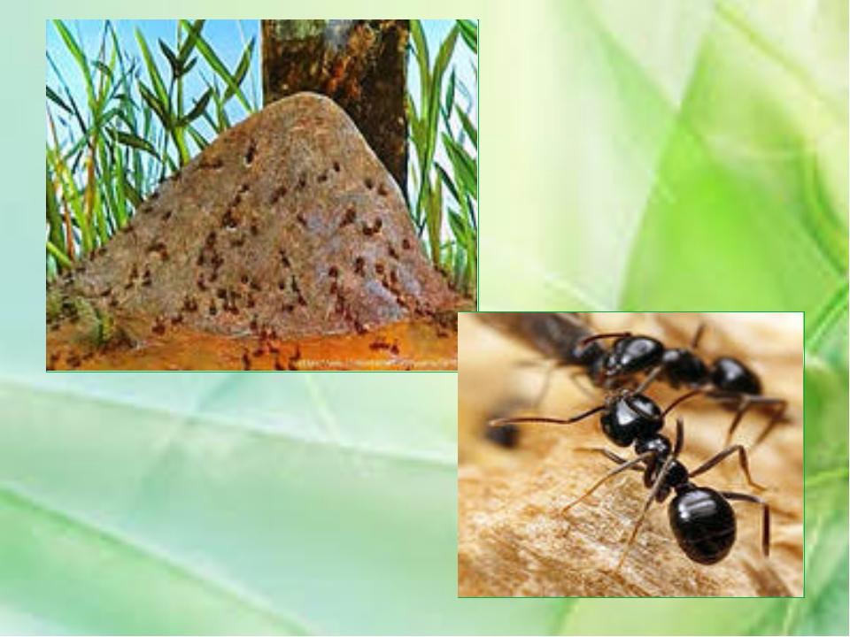 Зелёное насекомое с сильными челюстями и длинными задними ногами, используемы...
