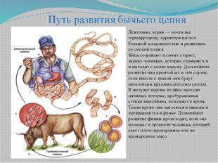 Путь развития бычьего цепня Ленточные черви — почти все гермафродиты, характе