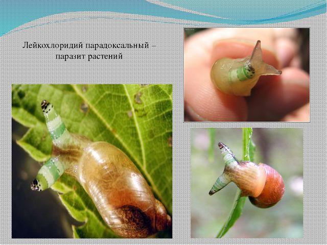 Лейкохлоридий парадоксальный – паразит растений