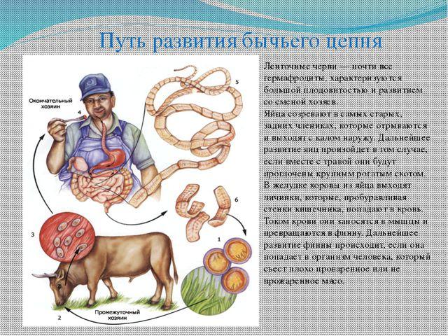 Путь развития бычьего цепня Ленточные черви — почти все гермафродиты, характе...