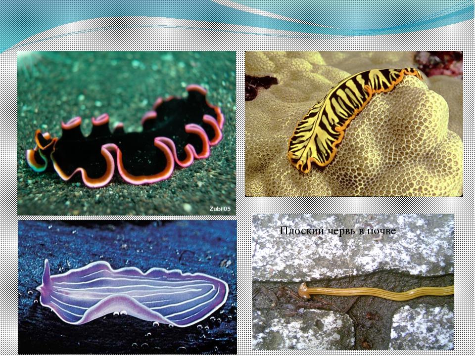 Плоский червь в почве