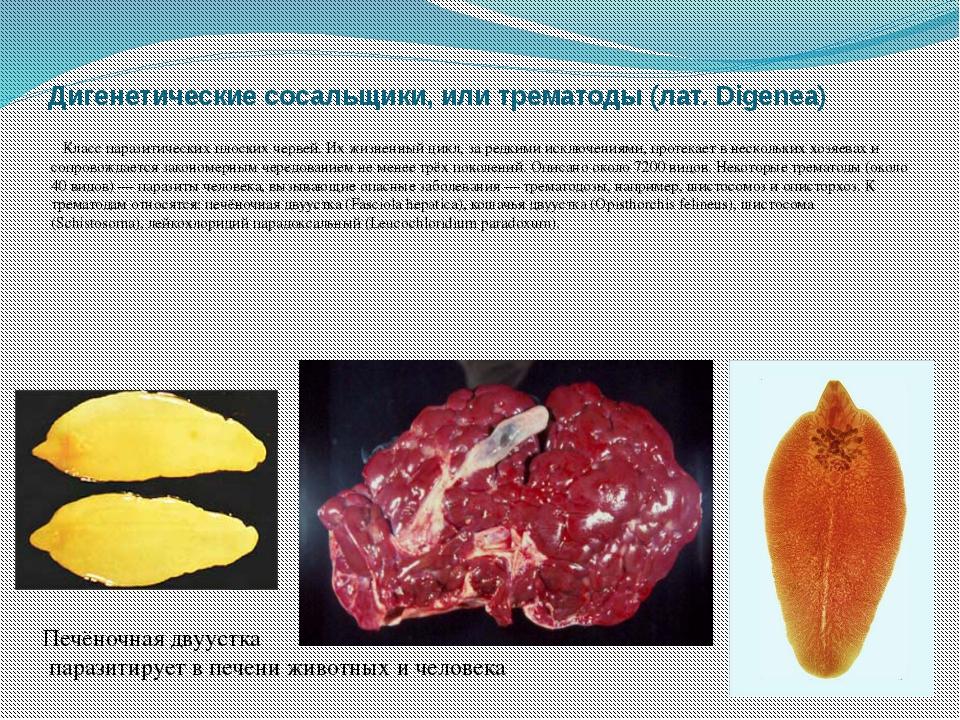 Дигенетические сосальщики, или трематоды (лат. Digenea) Класс паразитических...