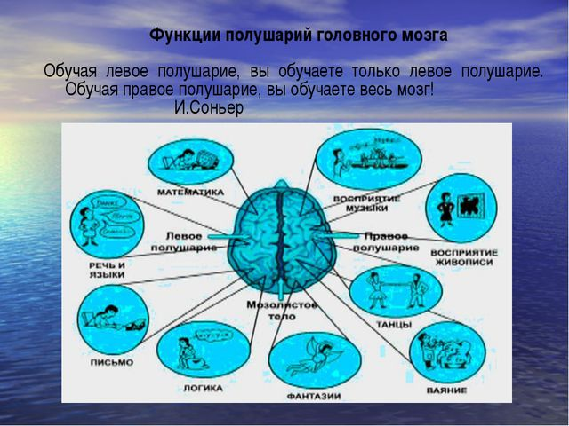 Функции полушарий головного мозга Обучая левое полушарие, вы обучаете только...