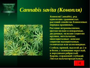 Cannabis savita (Конопля) Конопля(Cannabis), род однолетних травянистых расте