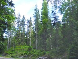 250px-Mixed_Picea_%28Spruce%29_forest_from_Vestfold_county_in_Norway