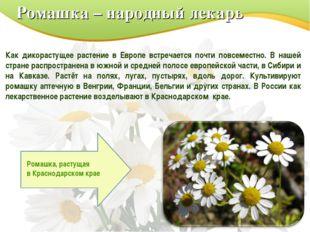 Ромашка – народный лекарь Как дикорастущее растение в Европе встречается почт