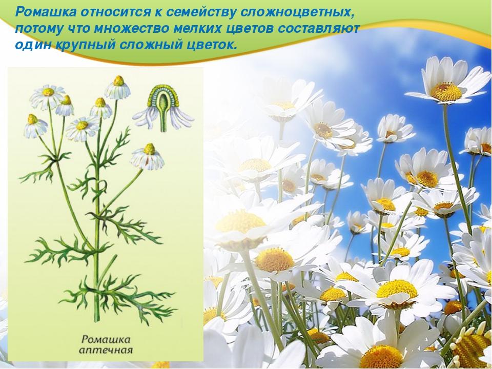 Ромашка относится к семейству сложноцветных, потому что множество мелких цвет...
