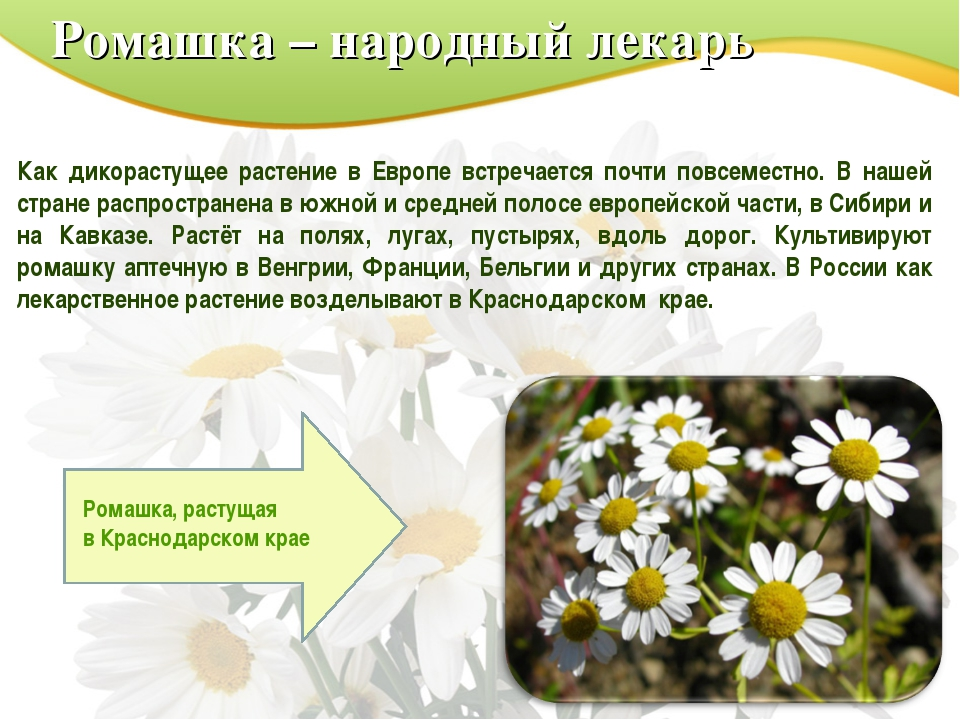 Ромашка – народный лекарь Как дикорастущее растение в Европе встречается почт...