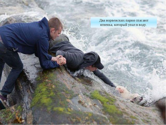 Два норвежских парня спасают ягненка, который упал в воду.