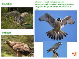 Сапсан - самая быстрая птица, великолепный охотник, может развивать скорость