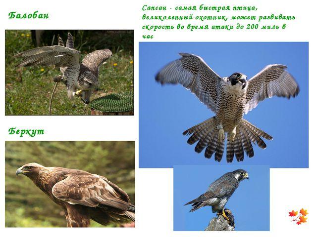 Сапсан - самая быстрая птица, великолепный охотник, может развивать скорость...
