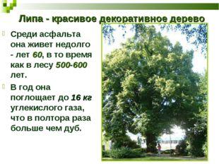 Липа - красивое декоративное дерево Среди асфальта она живет недолго - лет 60
