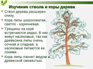 Изучение ствола и коры дерева Ствол дерева расширен снизу. Кора липы шерохова