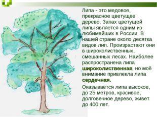 Липа - это медовое, прекрасное цветущее дерево. Запах цветущей липы является