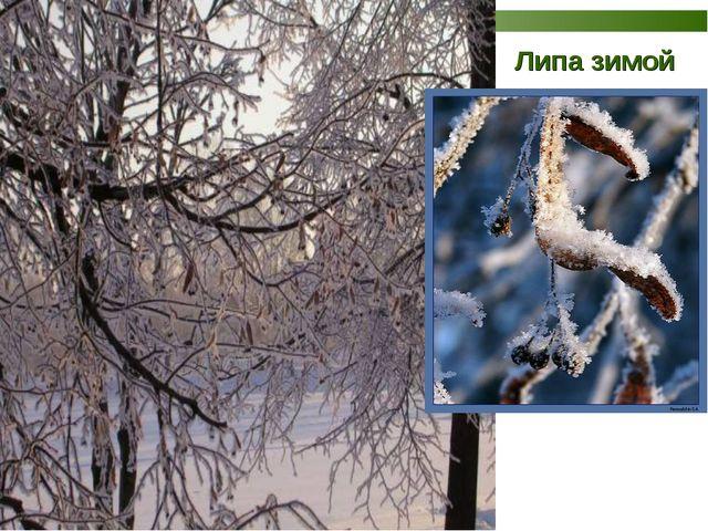 Липа зимой
