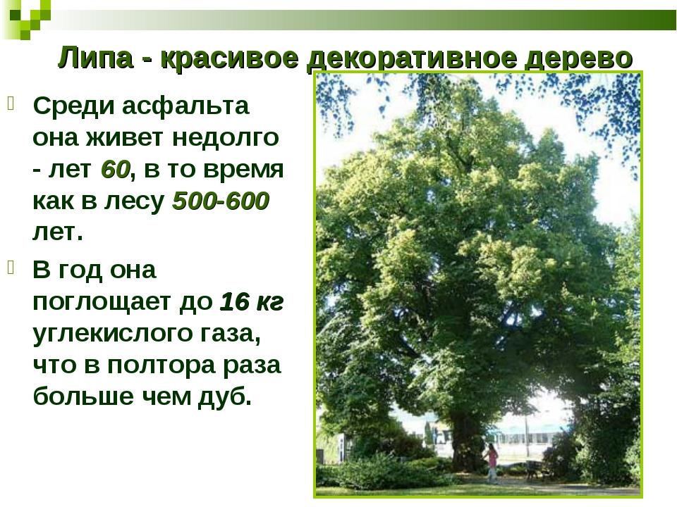 Липа - красивое декоративное дерево Среди асфальта она живет недолго - лет 60...