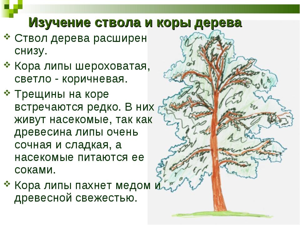 Изучение ствола и коры дерева Ствол дерева расширен снизу. Кора липы шерохова...