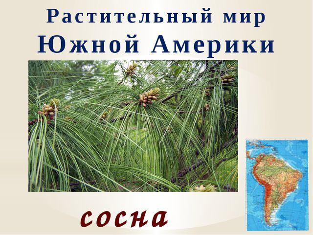 Растительный мир Южной Америки сосна веймутова