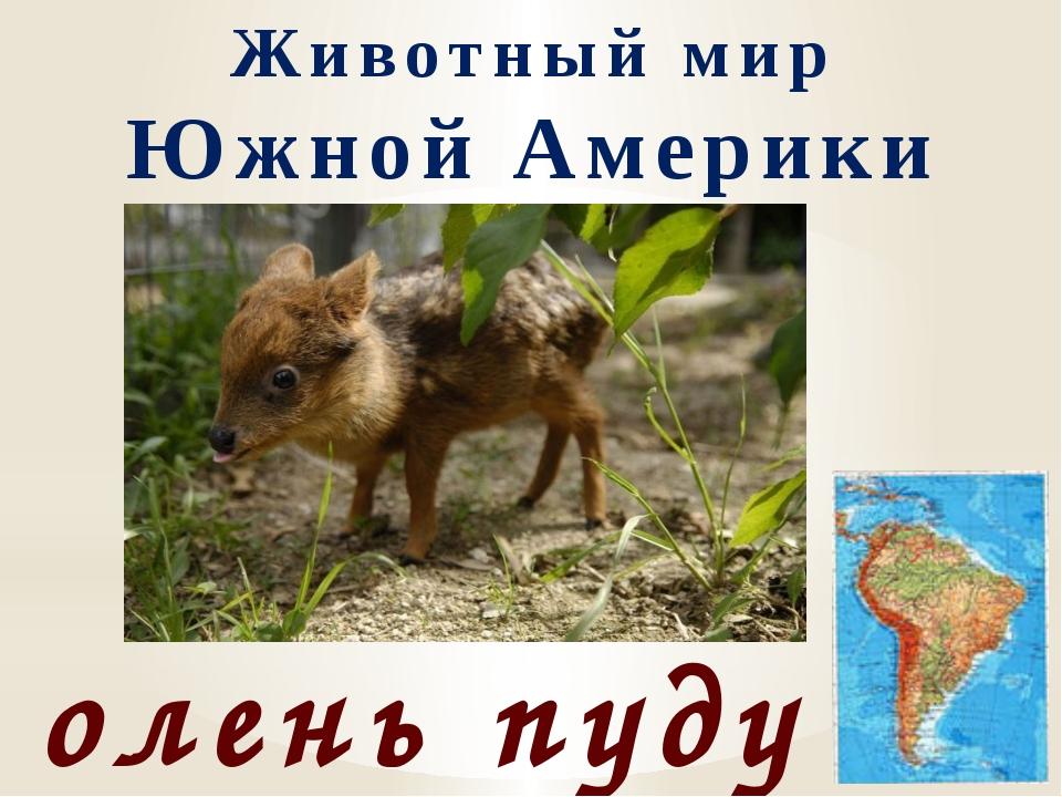 Животный мир Южной Америки олень пуду