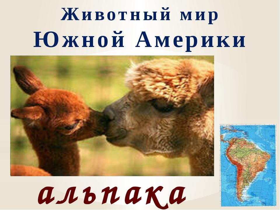 Животный мир Южной Америки альпака