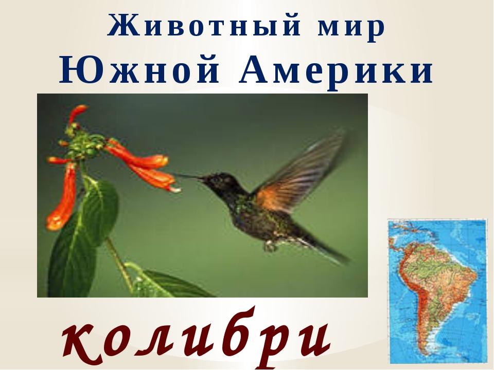 Животный мир Южной Америки колибри